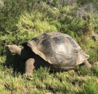 Fin sköldpadda