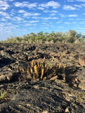 Kaktus i lava