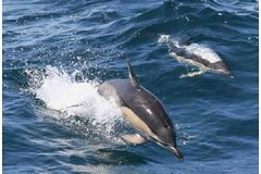 Royal Dolphin Whale watching excursion