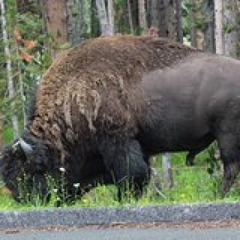 Wyoming Wyoming Private Full-Day Grand Teton Wildlife 4WD Tour from Jackson Hole 8917P34