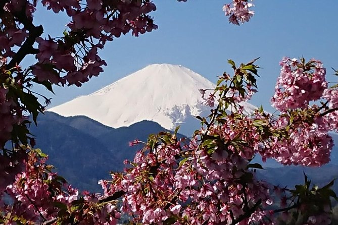 February To March Winter Cherry Blossom Fes Gotemba