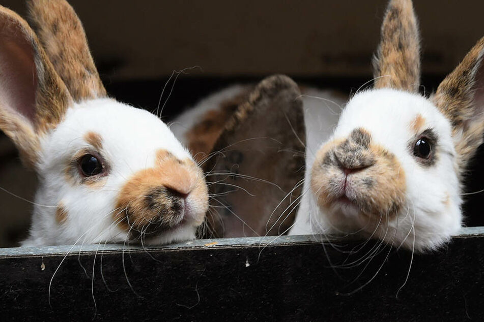 Gefährliches Kaninchen-Virus tötet Tiere innerhalb weniger Stunden ...