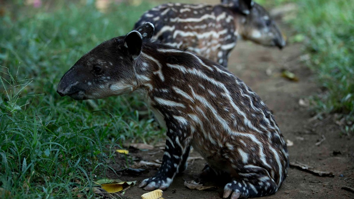 Joy in Latin American zoo after the birth of two endangered tapirs