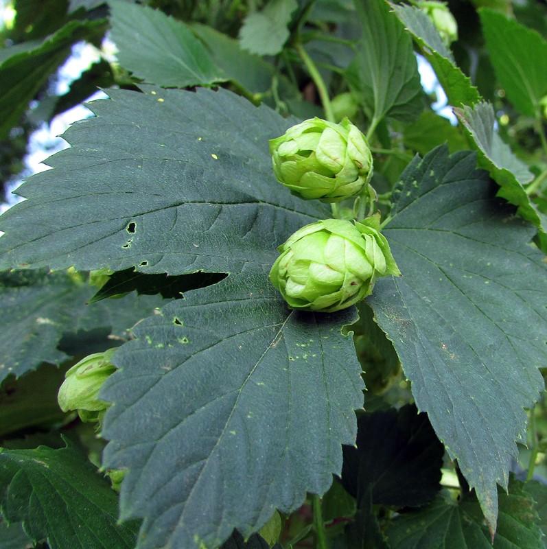leffe-gros-plan-fleur-de-houblon