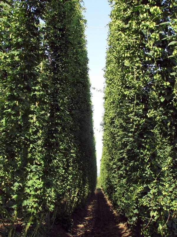 leffe-plantation-houblon
