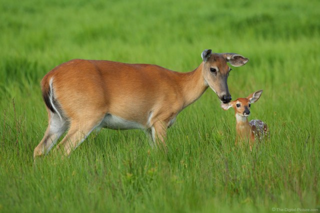 Whitetail Fawns and More, a Shenandoah National Park Instructional Photo Tour