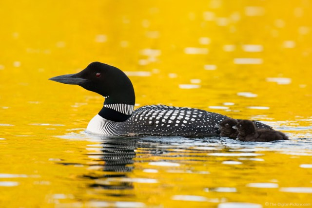 Loon and Chicks Swimming in Liquid Gold