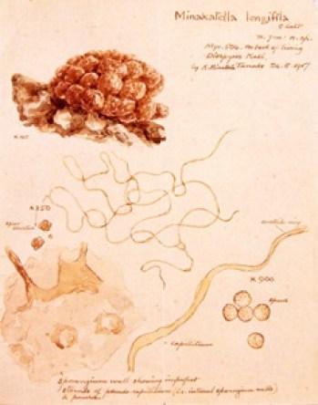 南方熊楠 粘菌ミナカテラ・ロンギフィラ