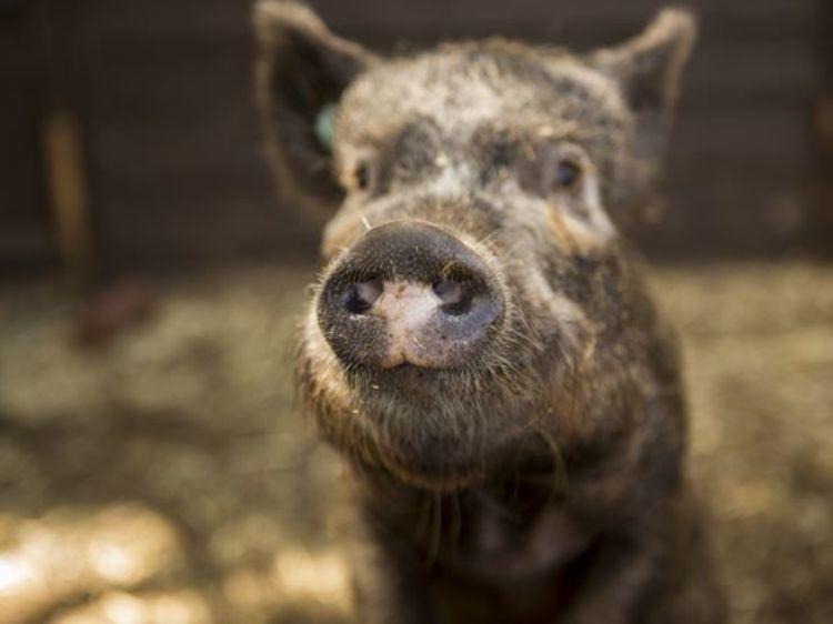 Pet a pig