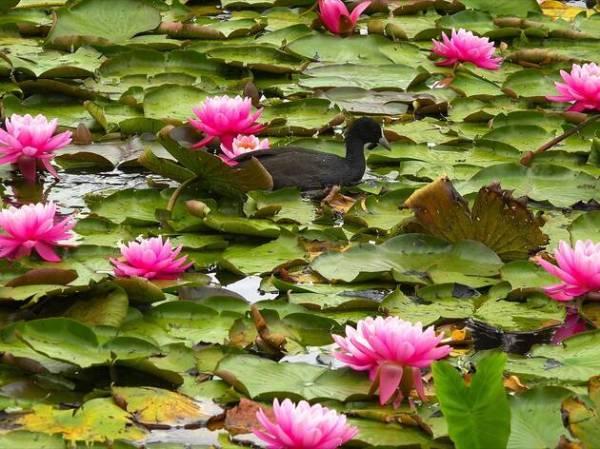 blue lotus water garden attractions