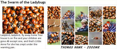Thomas Hawk's Ladybug Photos on Zooomr
