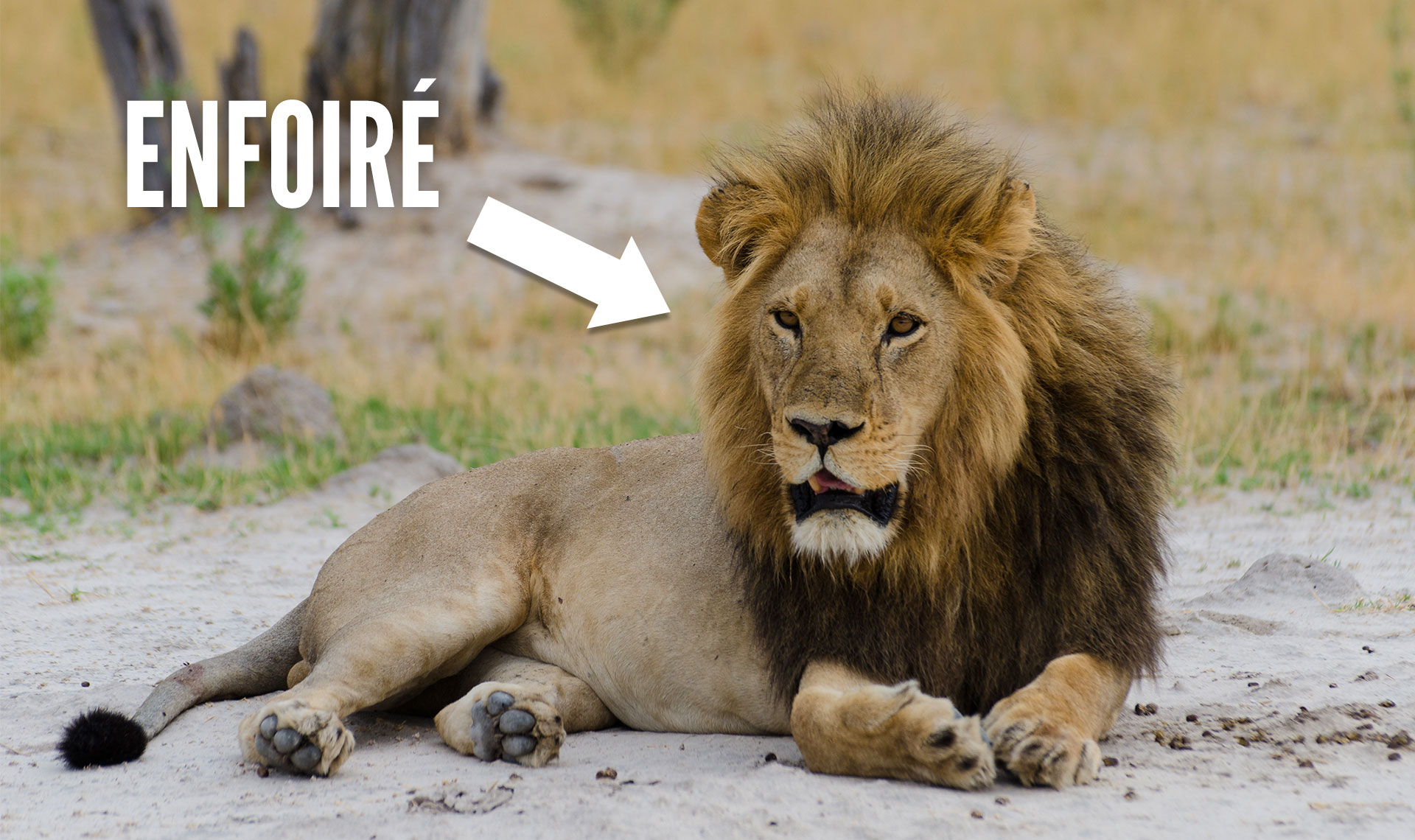 Top 12 excellentes raisons de buter tous les Lions finissons le boulot  Topito