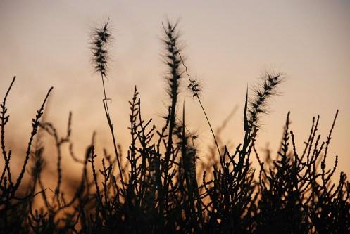 ökengräs