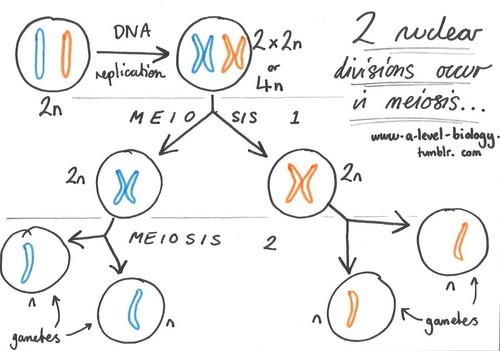 A-Level Biology Meiosis