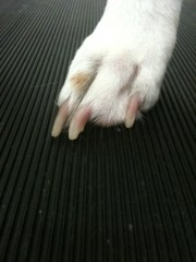 dogs nail quick recede