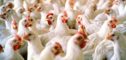 chickens fed arsenic