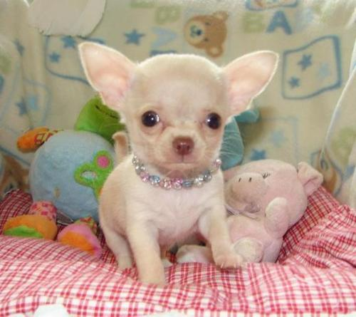 chihuahua puppy killed