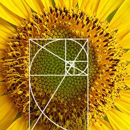 Sunflower and golden spiral