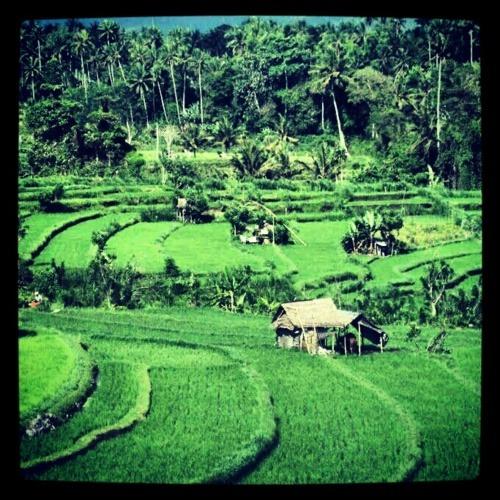 magnifiques rizières dans les alentours d'Ubud