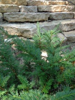 Outcropping walls with Japanese Yew