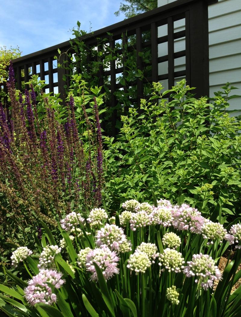 Summer Beauty Allium