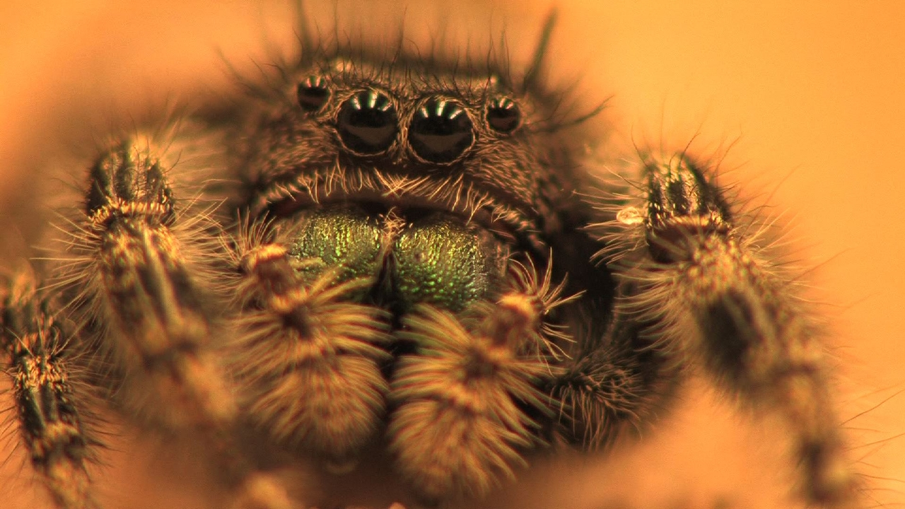 Hearing in a jumping spider  CornellCast