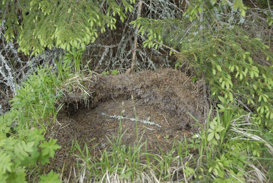 Björnens härjningar i en myrstack.