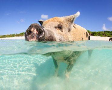 bästa stränderna i världen, stränder i Bahamas, öar i Bahamas, strand i Bahamas, ö med grisar, bada med grisar