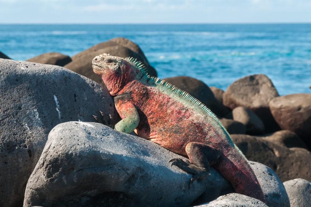 öar i Sydamerika, ö i Sydamerika, Galapagos, Galapagosöarna, Charles Darwin, galapagosödlan, ödla i Galapagos, Galapagos landleguan