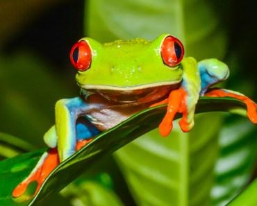 lövgrodor, grodor, amfibier, grodor i Sydamerika, grodor i Centralamerika