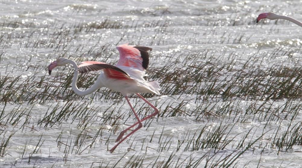 vattenfåglar, stora fåglar, rosa fåglar