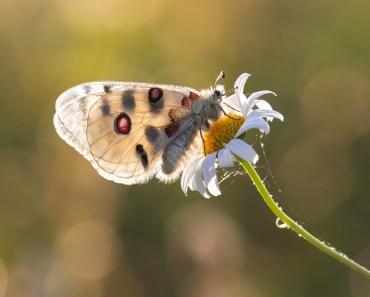 exotiska fjärilar, vackra fjärilar, fjärilar i Sverige, fjärilar i Norden, fjärilar i Europa