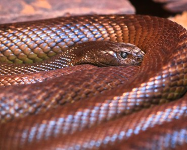 giftiga ormar, gifitg orm, giftorm, världens dödligaste orm, världens farligaste orm