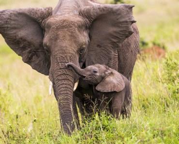 afrikansk elefant, elefantarter, elefanter i afrika, regnskogselefant, skogselefant, savannelefant, stäppelefant