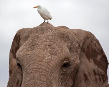 elefanter, elefantarter, skogselefanter