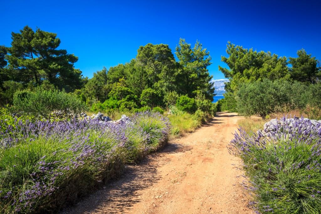 Lavendeln på Hvar, Kroatien