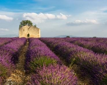 lavendel i Valensole, Provence