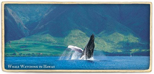 https://i0.wp.com/media.vaxvacationaccess.com/sites/content/BLU/PublishingImages/Destination%20Page%20Island%20Images/The%20Hawaiian%20Islands/Hawaii_whales.jpg