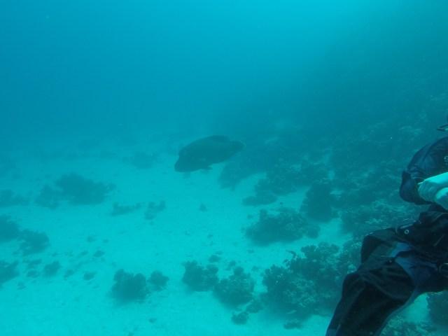 Napoleon Fish - About 1 meter big