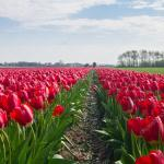 depositphotos_46467993-stock-photo-the-tulip-fields-on-a