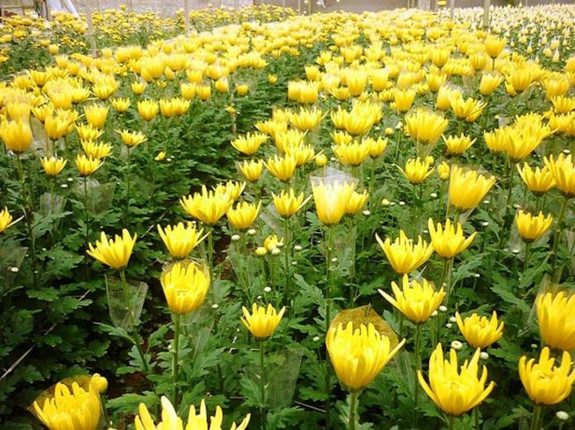 Kỹ thuật trồng cây và chăm sóc hoa cúc nở rộ bán dịp tết - ảnh 1