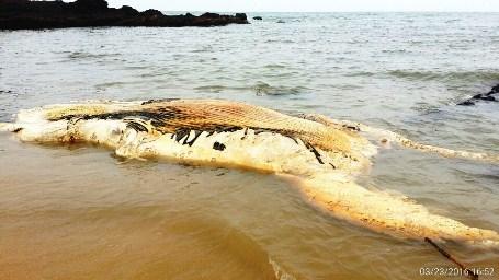 Xác cá voi nặng 10 tấn nổi lênh đênh trên vùng biển Bình Thuận