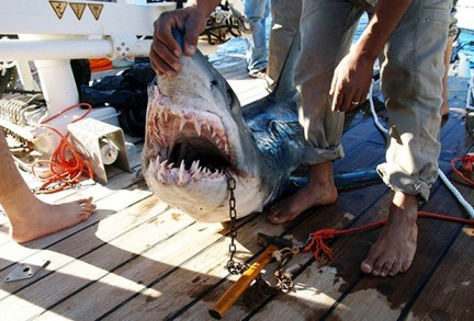 A fisherman holds the shark which was identified by an Egyptian diver as the shark which attacked four tourists in the Red Sea resort of Sharm el-Sheikh December 2, 2010. The killer shark was caught off the resort a day after it mauled the tourists on Wednesday, Egypt's Environment Ministry quoted to RIA Novosti. RIA Novosti also reported that the Egyptian diver, who rescued one of the tourists, identified the shark by recognizing the predator's damaged fin. Authorities will investigate further to confirm that this particular shark was responsible for the attacks. REUTERS/Stringer (EGYPT - Tags: ANIMALS SPORT DIVING DISASTER TRAVEL IMAGES OF THE DAY) - RTXVB6Y
