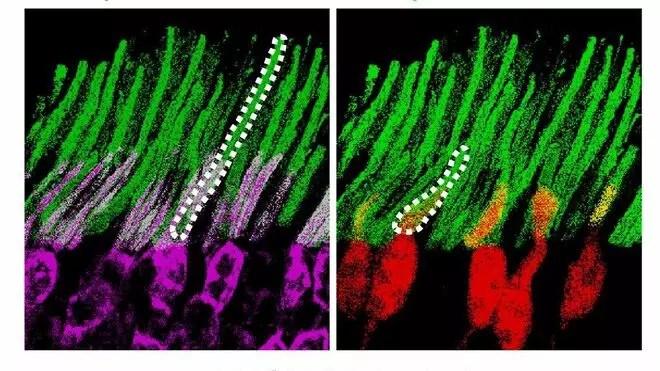 Imagen de las nanopartículas (verde) que se acoplan a los bastones (violeta) y los conos (rojo)