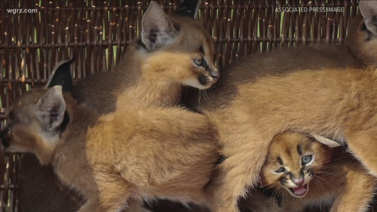New York man pleads guilty to trafficking exotic African cats