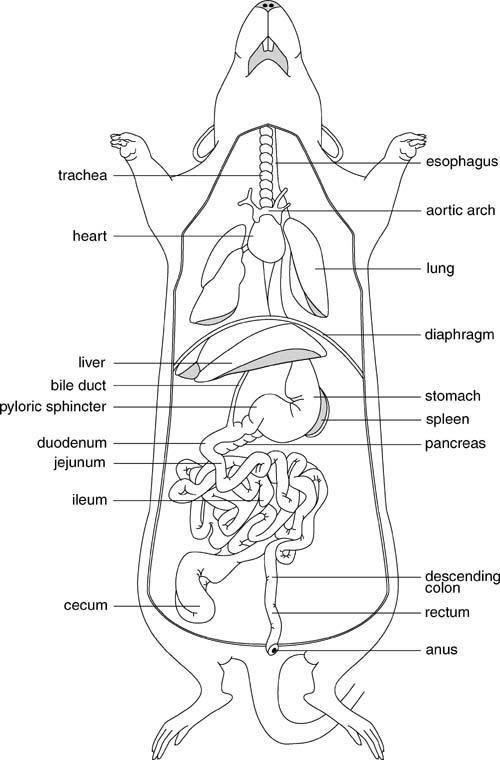 rat digestive system diagram quiz coleman heat pump wiring schematic biology ph0701 fig 0001 1 full jpg