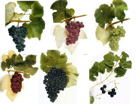 Native Wine Grapes of America | Wine Folly