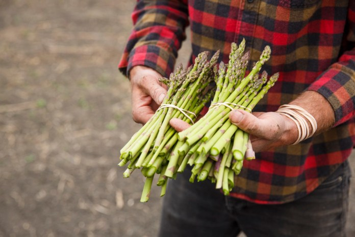 Girard harvests asparagus daily. It is one of the crops that currently needs constant attention. (Mike Deal / Winnipeg Free Press)