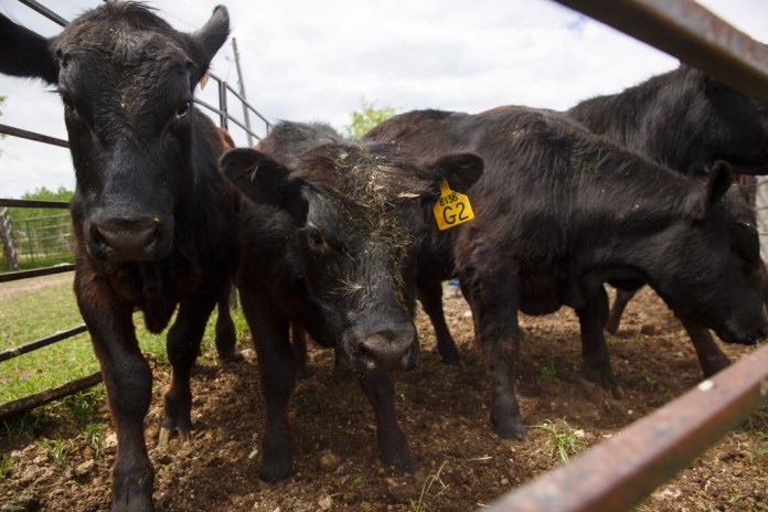 Graham and Kristine Tapley have 150 head of cattle near Langruth. (Mike Deal / Winnipeg Free Press)