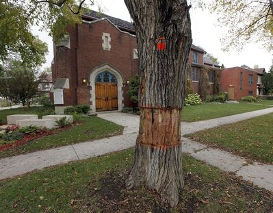 PHIL HOSSACK / WINNIPEG FREE PRESS</p><p>A diseased and dying elm tree waits for the chain saw in Woseley.</p>
